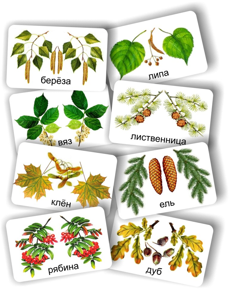 листья фото и названия деревьев