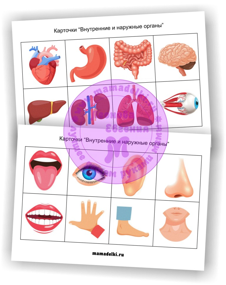 kartochki-vnutrennie-i-naruzhnye-organy